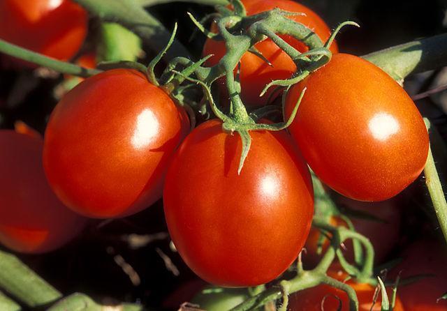 Tomaten am Strunk