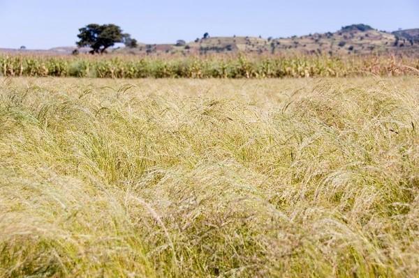 Feld mit Teff-Getreide